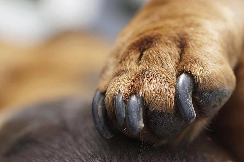 Unha de cachorro